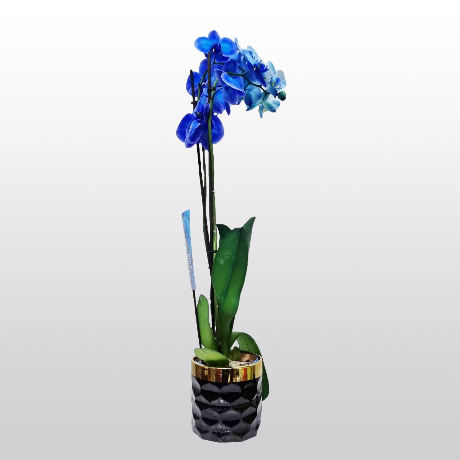 סחלב כחול